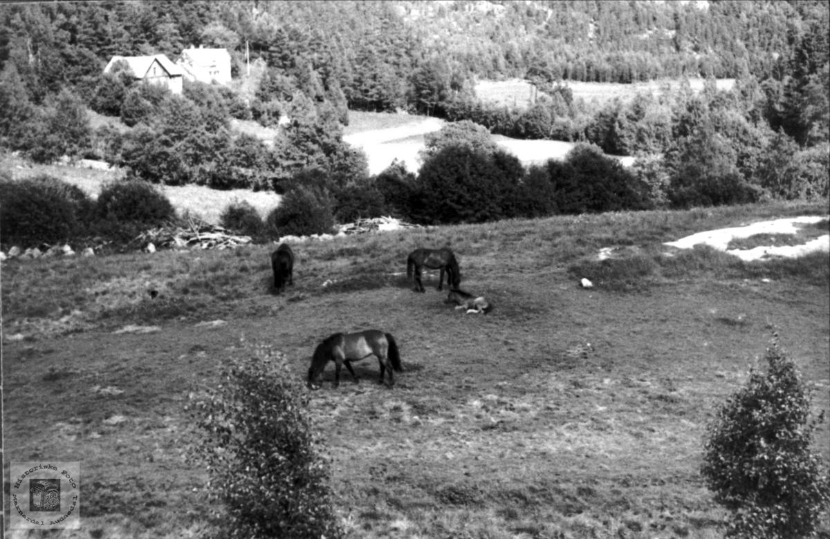 Hestar på beite på Foss i Bjelland