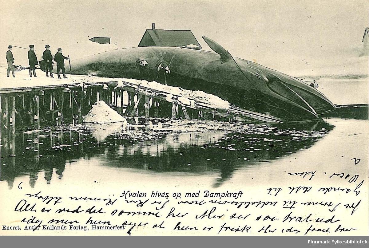 Postkort med motiv av en hval som hales på land. Kortet er sendt fra Hammerfest i november 1906 til Kirsten Buck på Hasvik.