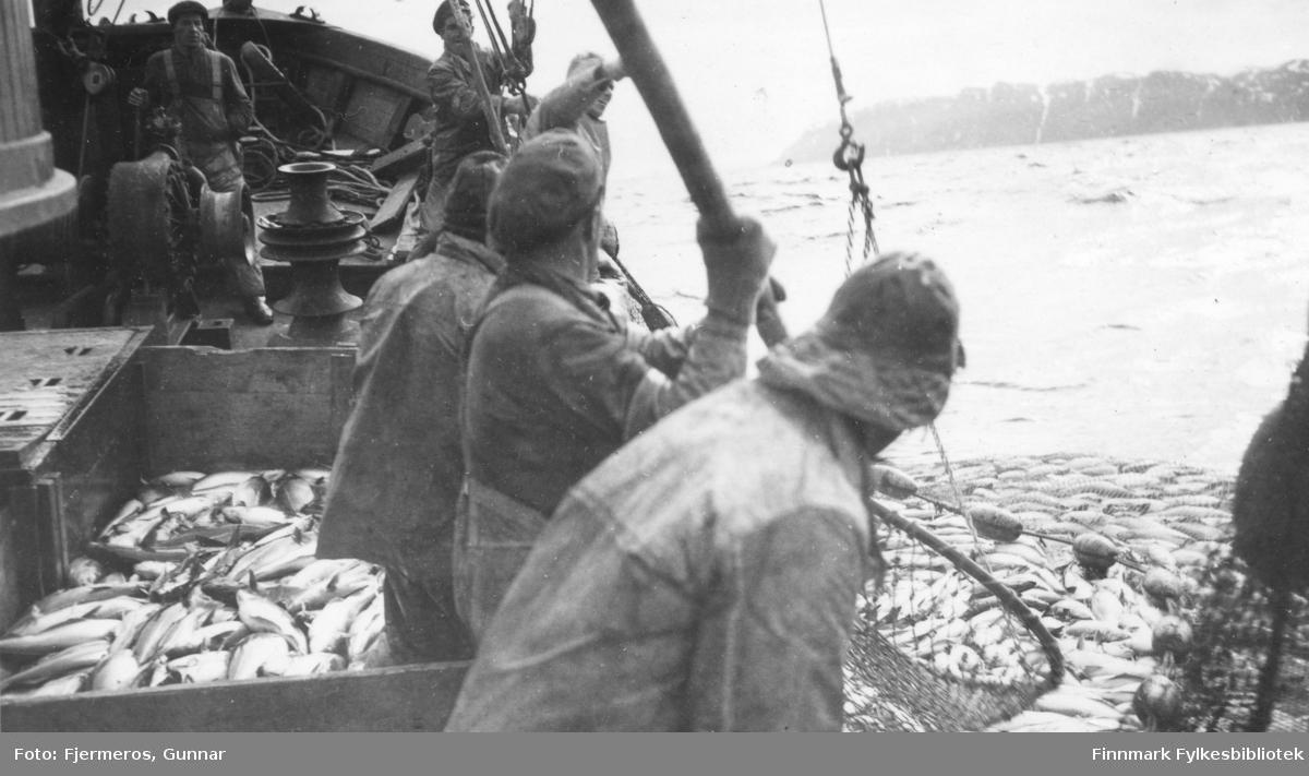 Flere menn langs rekka på en fiskeskøyte. Nota som henger ved siden av båten er full av sei. Bildet er tatt øst for Nordkapp våren 1948. Menn og båt er ukjent.