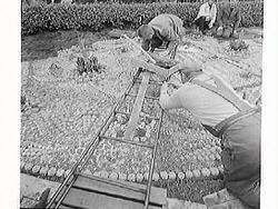 """Tidningsartikel: """"Kaktusplanteringen i Järnvägsparken"""". Fem"""