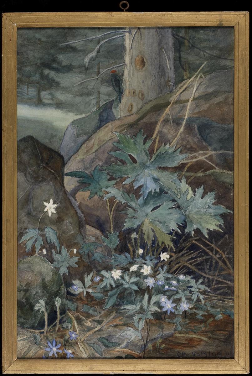 Nærbilde av blåveis og hvitveis, fjellknaus, trestamme m. hakkespett.