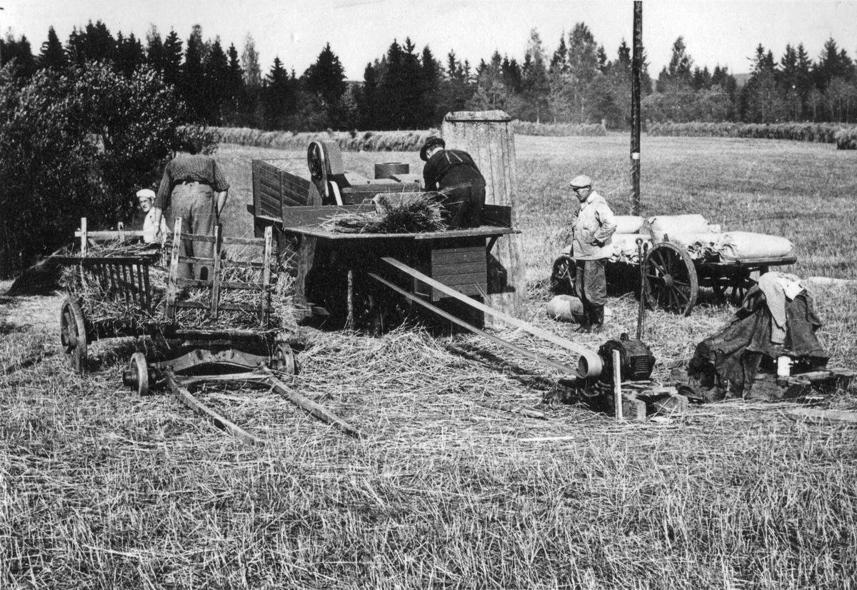 Tresking av korn. Sannsynligvis før krigen.