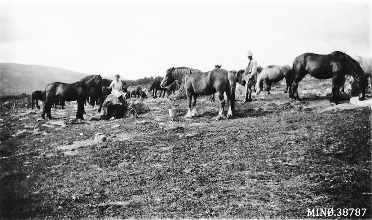 Hester i Kvitdalen