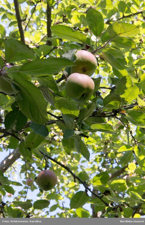 Äppeldagarna Julita 2015, Äpplen, marknad, butiken