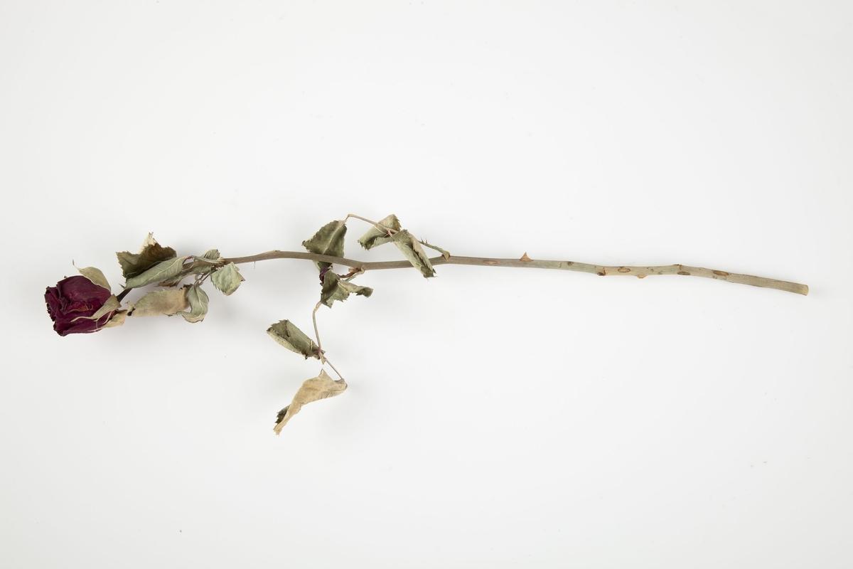 Rose innsamlet etter terrorhandlingen 22. juli 2011 fra minnesmarkeringene i Lillestrøm.   Rosens farge er godt bevart dog er den blitt noe mørkere. Bladene er få og omtrent halvparten er lysebrune. De sitter på øverste halvdel av stilken som forøvrig fortsatt har torner. Fargene på stilken varierer mellom lilla, lysebrunt og grågrønt.