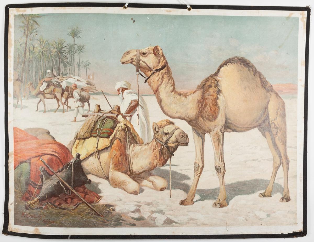 Beduinleir med kameler