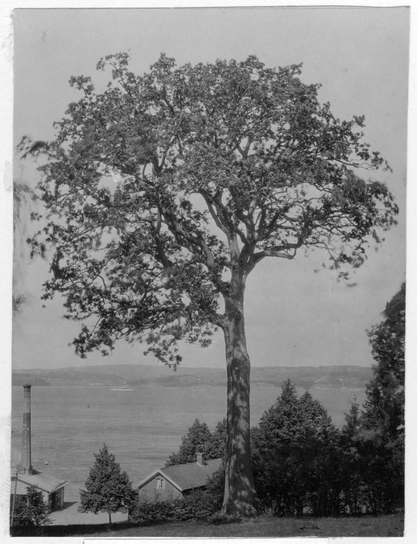 'Bildtext: ''Ek. '' Ek med hög stam, vy ut mot havet med hus i förgrunden. ::  :: Fotonr. 7046:119-185 indelade som ''Märkvärdiga träd  i Göteborgs län och Bohus län''. Ingår i serie med fotonr. 7046:1-383, 7047:1-33 och 7048:1-67 med bilder från  Länsjägmästare John Lindners bildarkiv.'
