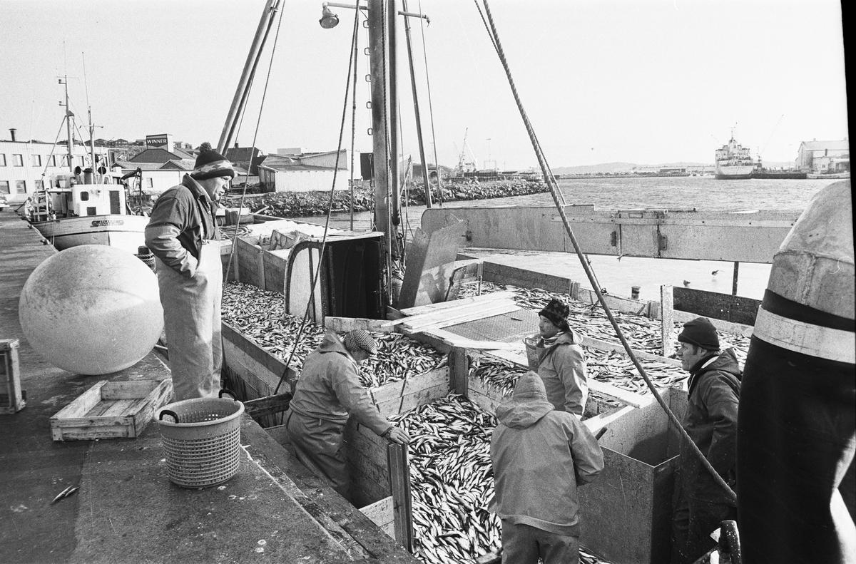 Fiskebåten LL372 Thailand av Smögen lossar skarpsill i Lysekil på 1980-talet. Thailand var följebåt till LL279 Släggö av Lysekil. På kajen Släggös skeppare Roger Selander och närmast honom på däck brodern Ove Selander.