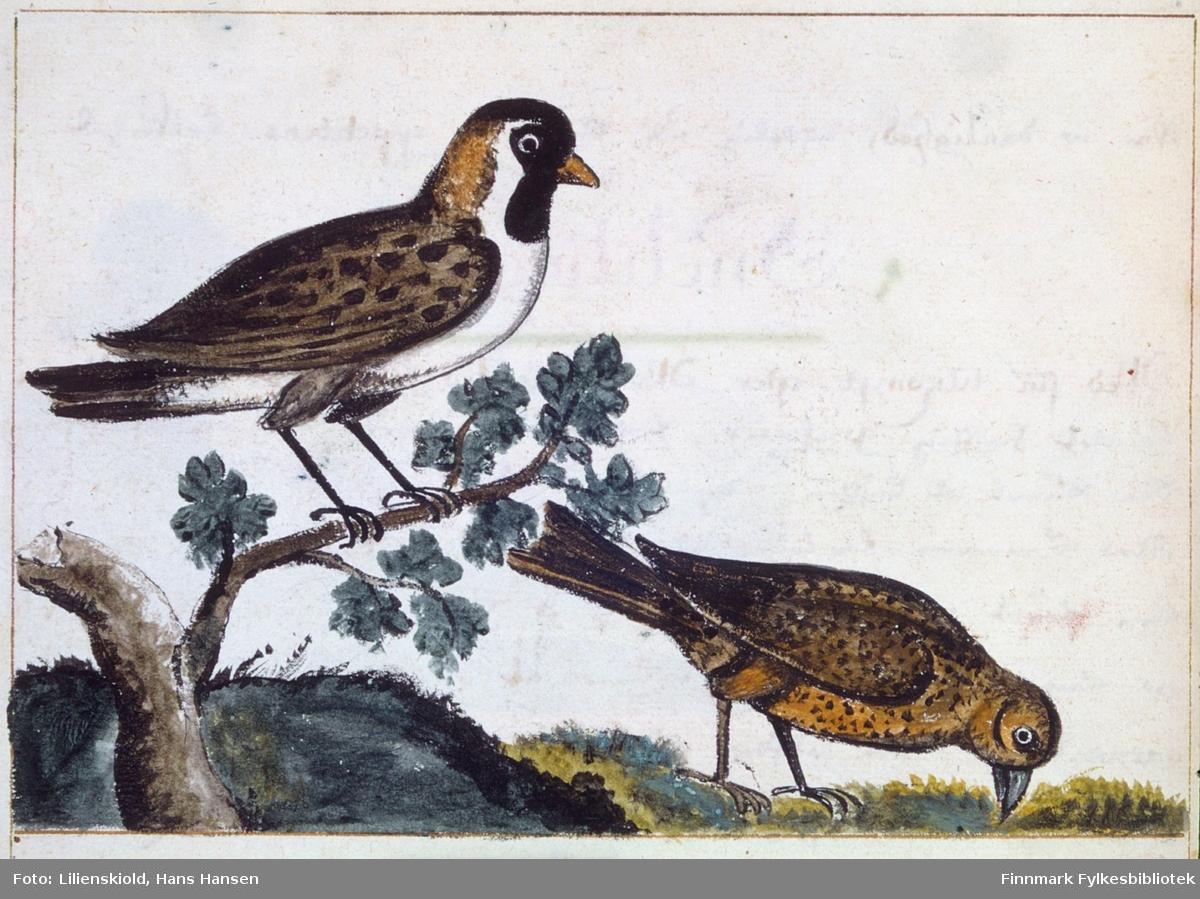 Illustrasjon til beskrivelse av det Lilienskiold kaller stiglits, identifisert som lappspurv
