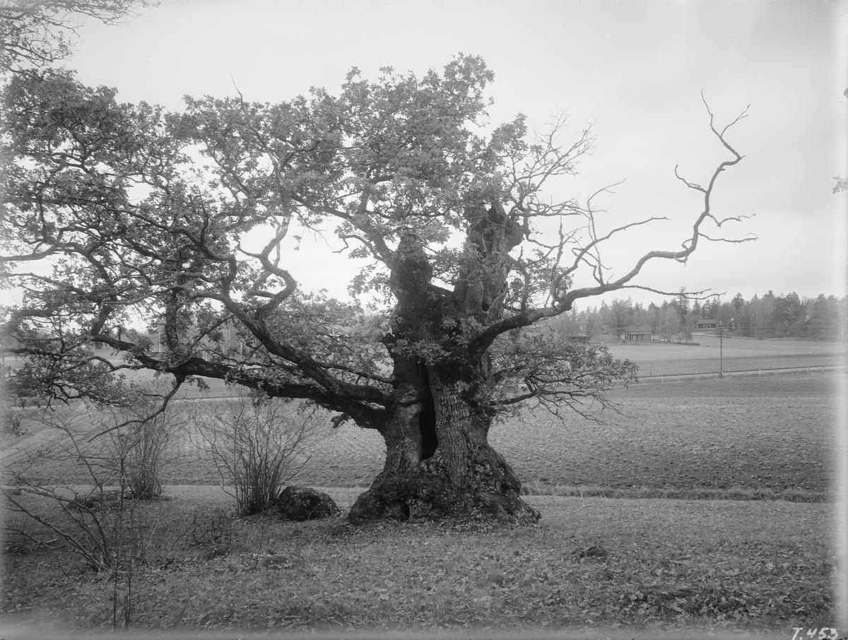 Den så kallade Högmo-eken strax söder om Bjärka Säby. Förevigad i oktober 1921.