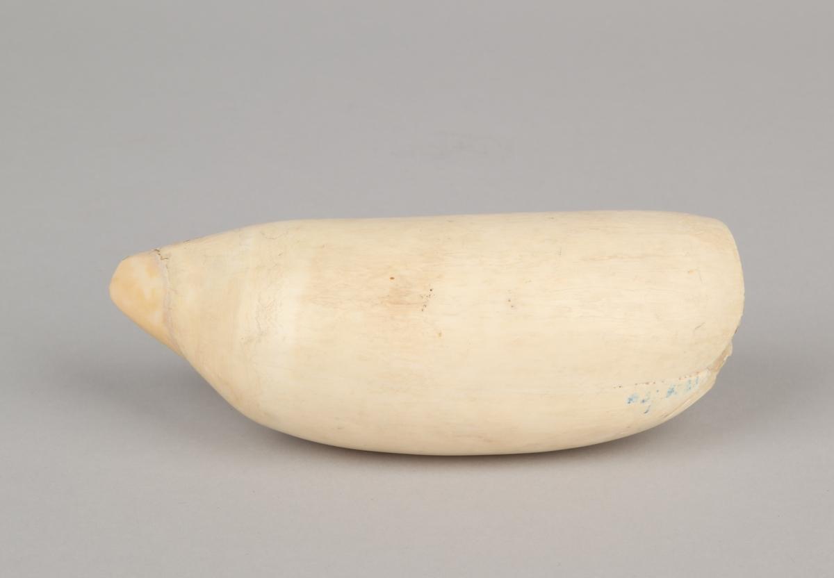 Blankpolert hvaltann.