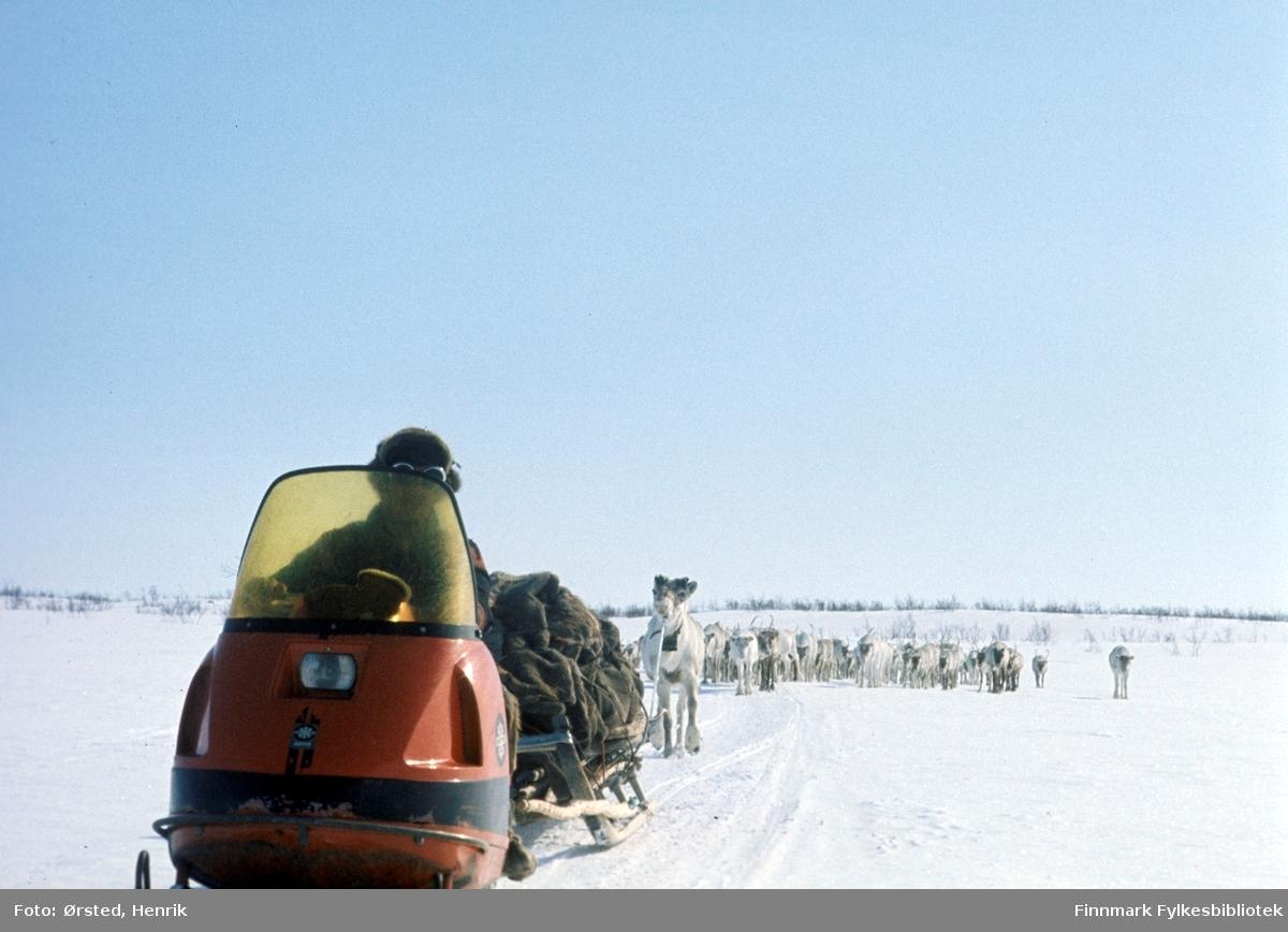 """Postfører Mathis Mathisen Buljo, bedre kjent som """"Post-Mathis"""" i samiske kretser, har kommet frem til et av sine stopp på postruta. Her ser vi reindriftssamer i arbeid på Finnmarksvidda. En rein er bundet bak skuteren og resten av flokken følger etter.  Fotograf Henrik Ørsteds bilder er tatt langs den 30 mil lange postruta som strakk seg fra Mieronjavre poståpneri til Náhpolsáiva, videre til Bavtajohka, innover til øvre Anárjohka nasjonalpark som grenser til Finland – og ruta dekket nærmere 30 reindriftsenheter. Ørsted fulgte «Post-Mathis», Mathis Mathisen Buljo som dekket et imponerende område med omtrent 30.000 dyr og reingjetere som stadig var ute i terrenget og i forflytning. Dette var landets lengste postrute og postlevering under krevende vær- og føreforhold var beregnet til 2 dager. Bildene gir et unikt innblikk i samisk reindriftskultur på 1970-tallet. Fotograf Henrik Ørsted har donert ca. 1800 negativer og lysbilder til Finnmark Fylkesbibliotek i 2010."""