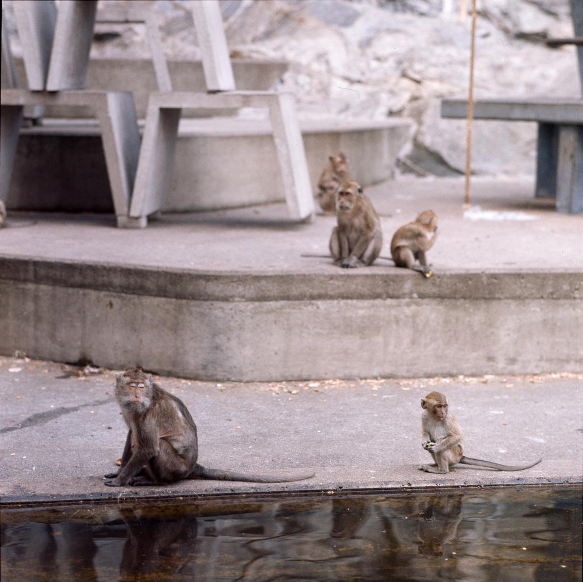Apor på apberget på Skansen, Krabbmakaker.