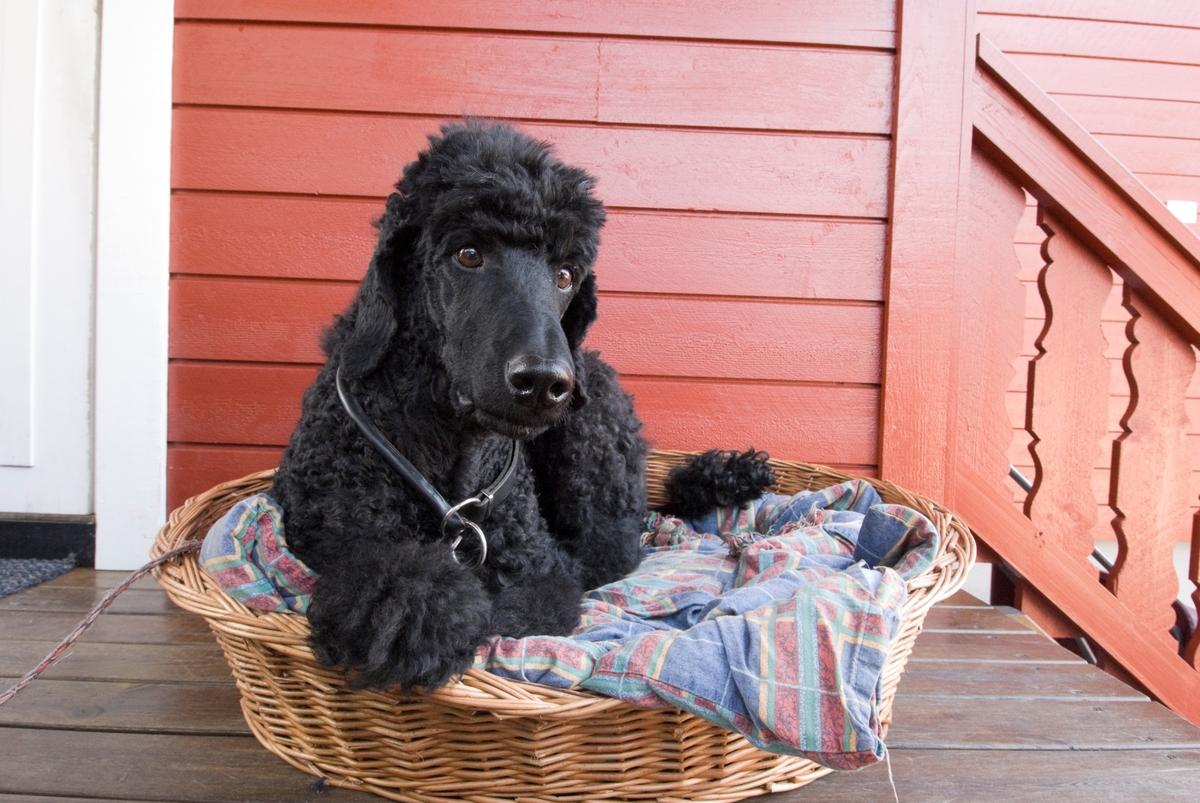 Hunden Pedro ligger i sin hundeseng ute på verandaen foran huset.