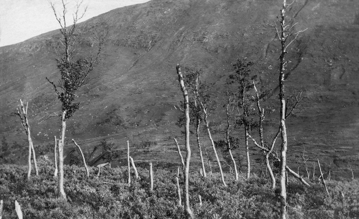 Landskapsfotografi fra Benelvdalen i Målselv kommune i Troms, antakelig 3 -400 meter over havet. Bildet er tatt fra en bakkekam med spredt bjørkeskog i moderat høyde, og med sterkt redusert grein- og bladmasse.  Vier later til å ha vært en framtredende art i undervegetasjonen, som sannsynligvis fikk bedre levekår da bjørkeskogen skrantet. Nedenfor opptaksstedet skimtes en dalbotn med myrterreng, og op motsatt side av dalføret ligger en markan fjellrygg.   Skoginspektør Ivar Ruden, som tok dette fotografiet i 1909, oppfattet denne bjørkeskogen, som lot til å være i ferd med å miste assimilasjonsapparatet sitt, som et uttrykk for en negativ tendens.  I en kommentar til motivet på et av kartotekkortene i Landbruksdepartementets skogavdeling skrev han at dette måtte være en tørke som skyldtes «den nedtrykte Skoggrænse».  Teksten på kartotekkortet sier ingenting om hva Ruden oppfattet som årsaken til trykket på skoggrensa, men i andre sammenhenger var det ingen tvil om at Ruden la skylde på samenes høsting av skog og skader som fulgte med reindriften.   Fotografiet er tatt i forbindelse med ei av flere befaringer som ble avviklet i samband med en norsk-svensk strid om skogbehandlinga til samer som hadde vinterbosteder i Sverige, men sommerbeiter på norsk side av riksgrensa. Fra svensk side var man opptatt av å bagatellisere de konsekvensene samenes og reinsdyras bruk av den stedlige bjørke- og furuskogen fikk, mens de norske skogfunksjonærene som var involvert i denne saken hevdet at virksomheten gjorde store innhogg i naturressursene, noe som blant annet innebar senking av skoggrensa i klimafølsomme miljøer.    I 1911 publiserte Ivar Ruden ei lita bok med tittelen «Fremstilling av en del av den skade som de svenske flytlapper og ren har voldt på skogen i Tromsø Amt».  Året etter ble Ruden og Helgesen imøtegått av jägmästare Anders Harald Holmgren i en utgivelse han kalte «Studier öfver nordligaste Skandinaviens björkskogar».  Agnar Barth, som publiserte boka «De svenske
