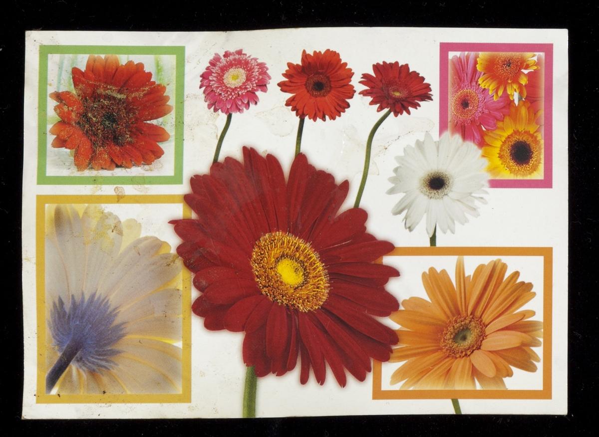 Blomsten Gerbera i ulike farger.