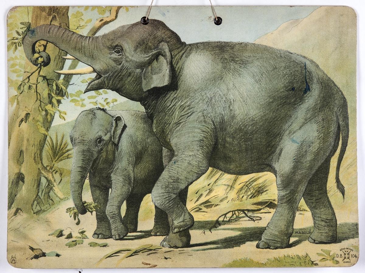 Skoleplansje, naturfag. Illustrert på begge sider, forestiller elefant med unge (nr. 104) og neshorn med unge.
