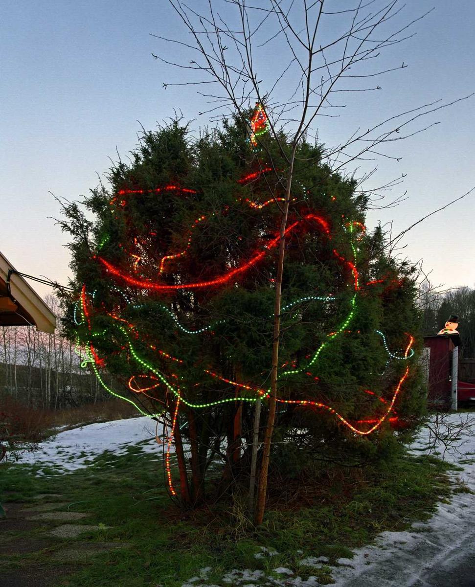 Julebelysning.  Fantastisk julebelysning. Flerfargete lysslanger dekorerer furubusk ved enebolig