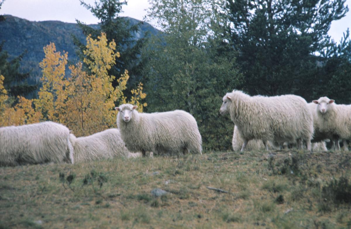 Spelsau. Røros Tweed bruker ull fra spelsau i produksjonen. Illustrasjonsbilde for Bonytt 1983.