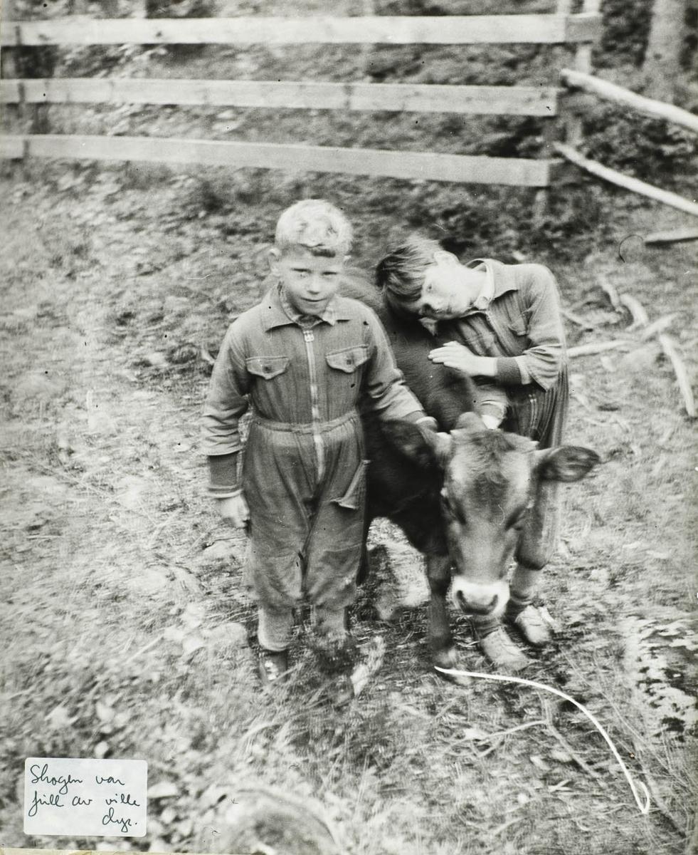 To gutter med en oksekalv, gjerde